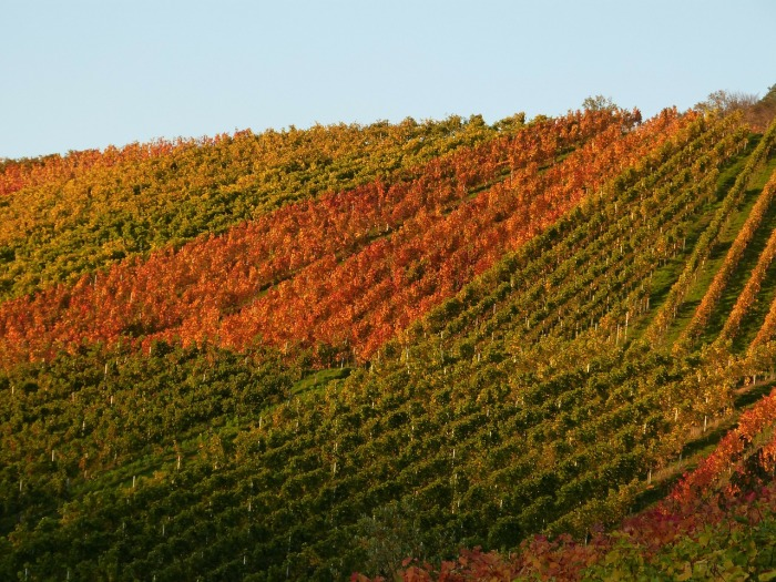 fall-vineyard