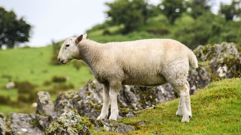 stray-sheep