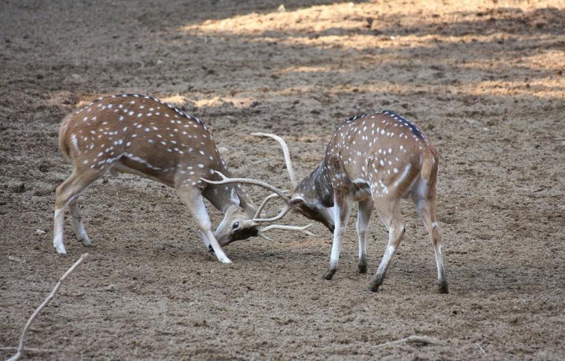 deer-struggling
