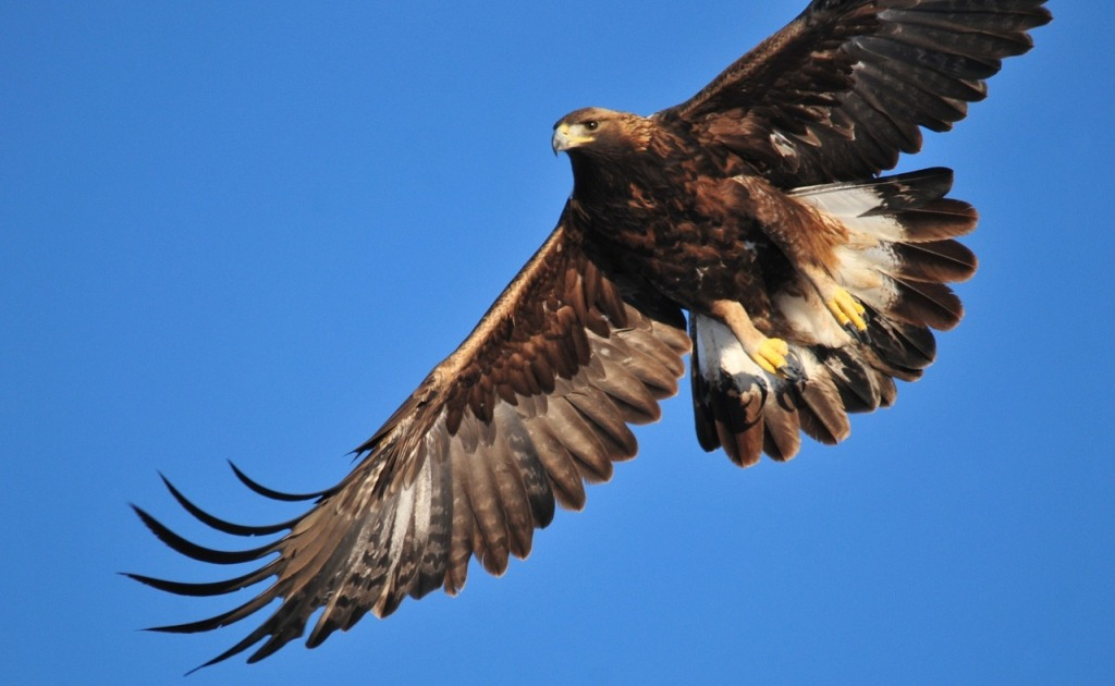 golden-eagle